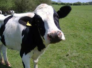 Как ухаживать за коровами