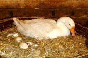 В какое время гуси несут яйца