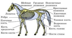 Анотомия лошади