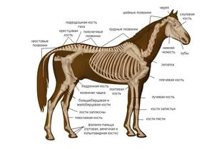 Как устроено тело лошади