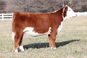 Клички для коров девочек список: имя для телочки