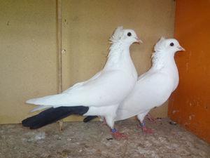 Окрас оперения бакинских голубей