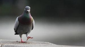 Депрессивный голубь фото