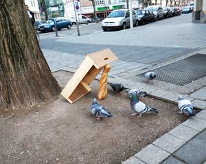 Ловля голубя при помощи обычного ящика фото