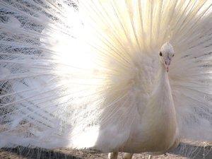 Как размножается павлин