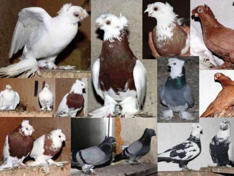 яблоки узбекские голуби фото с названиями комплекс чайка