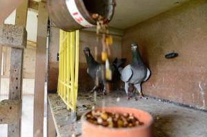Как начать разводить голубей