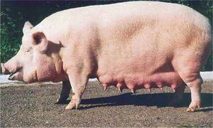 Большая розовая свинья