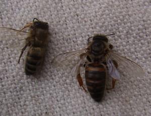 Как лечить пчел