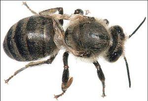 Чем могут болеть пчелы