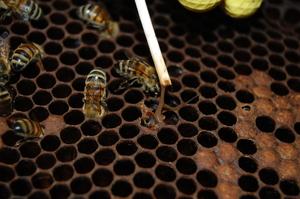 Симптомы заболевания пчел