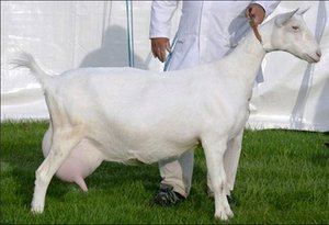 Зааненские козы молочные породы коз