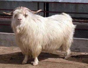 Разведение и содержание коз в домашних условиях