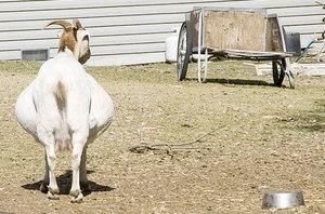 Беременная коза требует к себе больше внимания фото