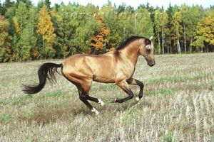Буланый конь на природе фото