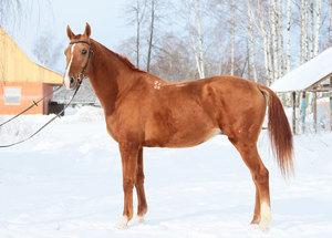 Золотисто-рыжие дончаки фото