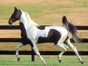 Пегая масть лошади фото