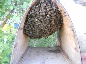 Как пчеловоду поймать рой