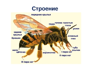 Строение рабочей пчелы
