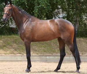 Ганноверская порода лошадь коричневого окраса фото