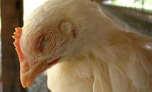 Лечение инфекционного бронхита кур