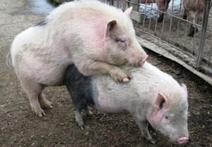 Спаривание свиней - сроки и особенности