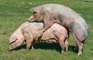 Процесс спаривания хряка и свиньи - фото