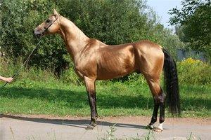 Характеристика ахалтекинской породы лошадей