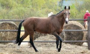 Способы кормления и рацион ахалтекинских лошадей