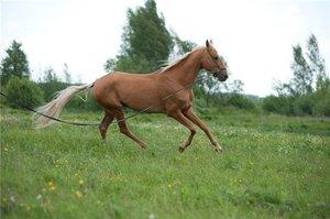 Перечень видов ахалтекинской породы лошадей