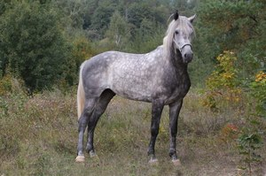 Порода лошадей орловская рысистая