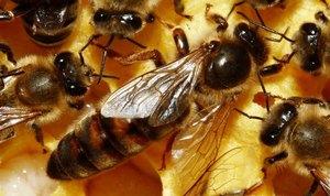 Пчелиная матка отличается от других пчел размерами и формой