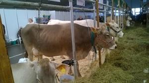 В чем особенность породы коров