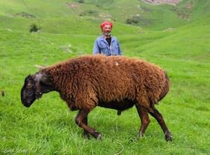 Описание гиссарской овцы