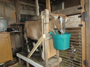 Поилки для козы