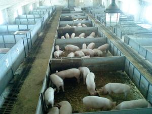 Разведение свиней на свиноферме