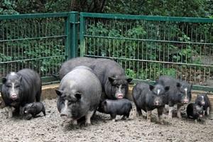 Вислобрюхая свинья и потомство