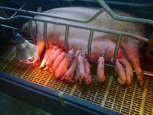 Опоросившаяся свинья фото