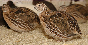 Японская перепелка - красивая птица