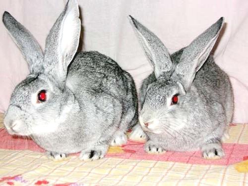 кролик шиншилла