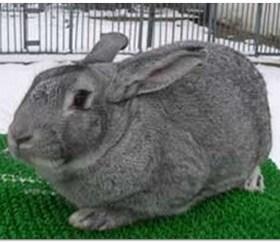 фотография кролика шиншиллы