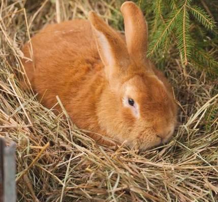 порода бургундских кроликов
