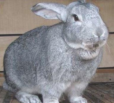 фото кролика шиншиллы