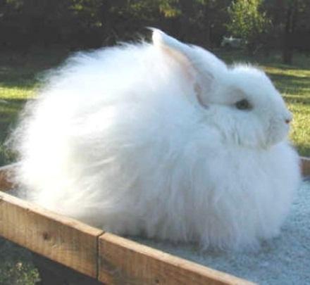 белая пуховая порода кроликов