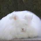 ангорская пуховая порода кроликов