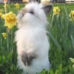 белый львиноголовый кролик
