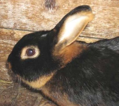 порода черно-бурых кроликов