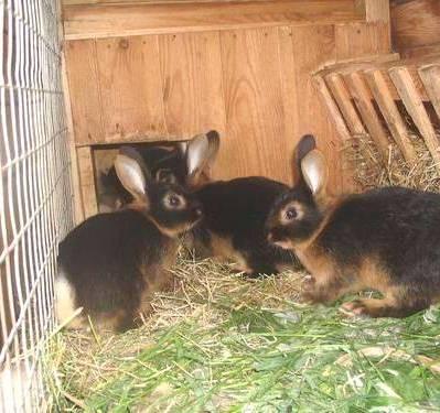 кролики черно-бурые