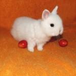 белый кролик гермелин