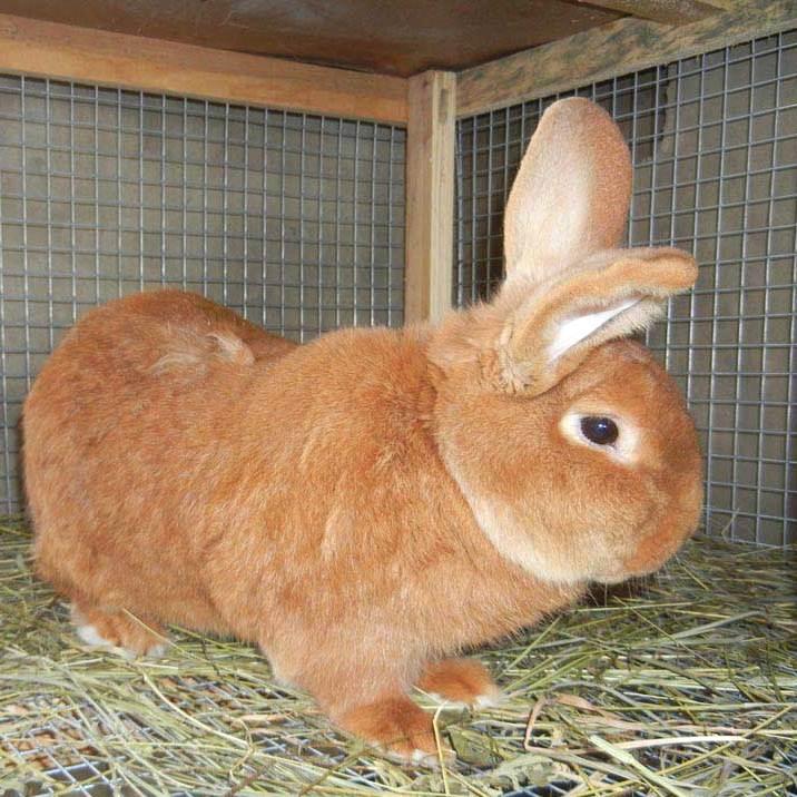 порода новозеландских красных кроликов